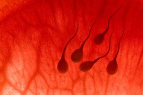 Pregnancy Image Gallery For sperm, a woman's uterus is just the beginning of a long, arduous journey that ends with conception -- if they're lucky. See more pregnancy pictures.