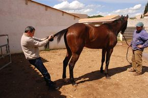 This animal chiropractor mobilizes the horse's last lumbar vertebrae by pulling on its tail.