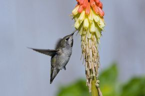 Hummingbirds love the red-hot pokers in your garden.