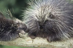 For some reason, some dogs just don't want to leave porcupines alone.