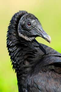 The vulture's featherless head helps keep it clean during its messy meals. See more bird pictures.
