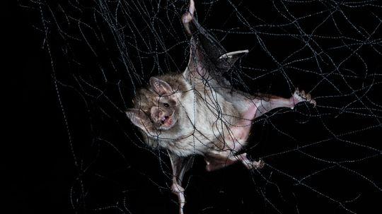 Socially Distancing When Ill Is Natural; Just Look at Vampire Bats