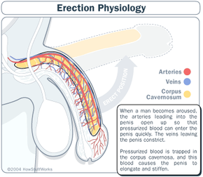 Erections work kind of like a balloon filled with pressurized blood instead of pressurized air.