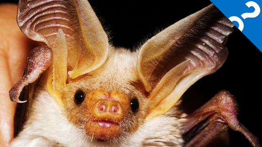 HowStuffWorks Interviews: Deadly Viruses and Bats with Jessica Parilla