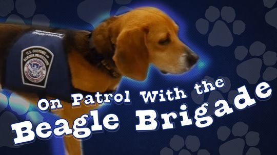 On Patrol With the Beagle Brigade