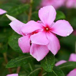 Purple Vinca Minor flowers