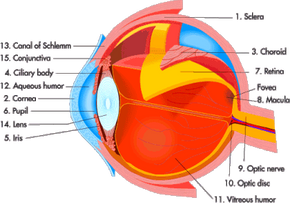 The main parts of the human eye