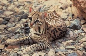 Conservationists are concerned that the habitat of the endangered Texas Ocelot may be disrupted by the building of a border fence.