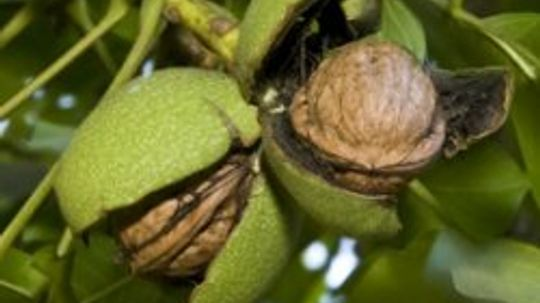 What are some walnut allergy symptoms?