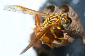 Both an ancient rival and ancestor of the honeybee, wasps may not produce honey, but they do help pollinate plants and eliminate insects that feed on crops. See more insect pictures.