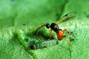 A modern parasitic cotesia wasp lays its eggs inside a caterpillar after giving it a paralyzing taste of its stinger. In this, the cotesia wasp behaves much like the Jurassic ancestors of all bees and wasps.