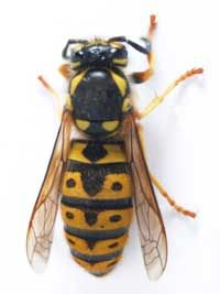 Is this yellow jacket a part of your yard or an enemy invader? You decide.