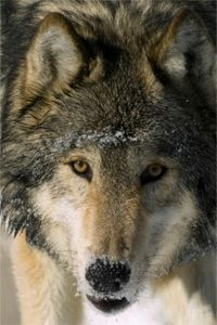 It's a little hard to see the resemblance between this gray wolf and, say, a poodle, but it's there -- somewhere.
