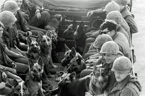 1969: Muzzled sentry dogs and their handlers head back to the base after patrolling the perimeter of a U.S. Naval outpost in Da Nang, Vietnam, during the Vietnam War.
