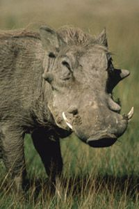 A face only a mother could love. See more African animal pictures.
