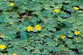 Water-fringe is prized for its yellow blooms.