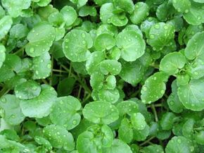 Watercress is a dark green, leafy plant with a peppery flavor.