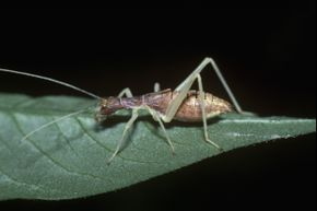 """A nymph """"thermometer cricket"""""""