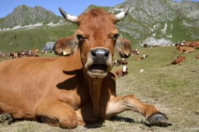Are you a believer in bovine barometers or not so much?