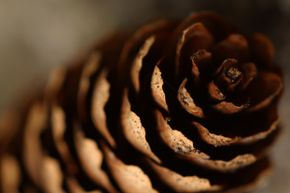 An open or closed pine cone actually can tell you what's happening with the weather.