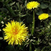 Weeds, such as these dandelions, should be controlled early in the season. See more pictures of  vegetable gardens.