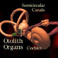 Vestibular organs