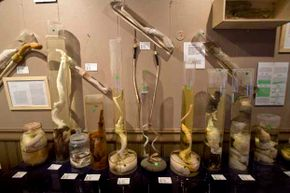The Icelandic Phallological Museum features phallic specimens from nearly all the land and sea mammals in Iceland. Including a few humans.