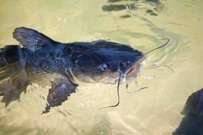 Researchers found that catfish mucus was very effective in inhibiting the growth of E. Coli.