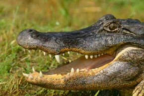Scientists wondered how gators recovered so quickly from bites during attacks. Turns out they have powerful immune systems.