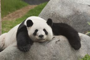These cute pandas have a powerful antibiotic compound in their blood. Fortunately it can be reproduced synthetically.