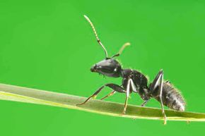 British researchers have discovered that ants produce and use multiple antibiotics in a way similar to doctors using multidrug therapy to treat humans.