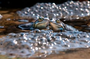 Two frogs share a tender moment of romance surrounded by eggs.