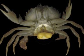 In a horrifying fashion, the rhizocephalans barnacle takes over an unsuspecting crab in order to propagate.