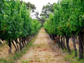 Australia is currently responsible for approximately 5 percent of the world's wine market. See more wine pictures. 