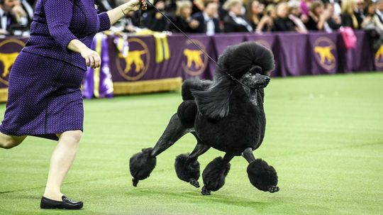 Westminster Dog Show Celebrates 145 Years, But 2021 Will Be Different