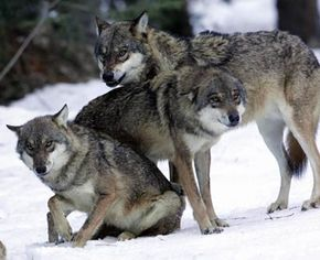 Although healthy wolves don't typically