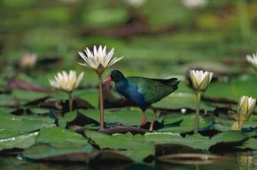 Lilly pads and colorful birds -- residents of the wetlands.