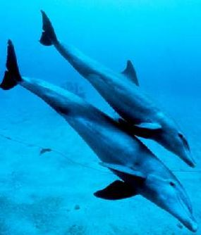 A bottlenose dolphin mother with her calf. Dolphins, which make up the family Delphinidae within the order of whales, are thought to be among the smartest animals on Earth.