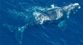 """Right whales, so named because they were the """"right whale to hunt,"""" are among the most endangered whales today. Researchers estimate there are only a few hundred left in the world."""
