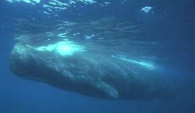 The lungs of a sperm whale (pictured here) can collapse as the whale dives to deeper depths for food.