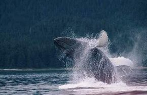 Humpbacks are known for their intelligence, playfulness and elaborate vocalizations. See more pictures of marine mammals.