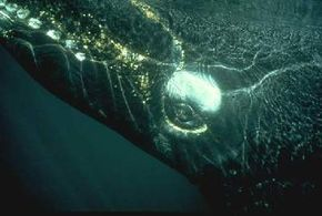 The eye of this whale is about the size of a big grapefruit.