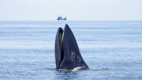 Has a whale ever swallowed someone alive?