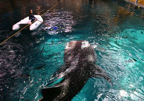 A large female whale shark swims back for a second helping.