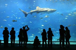 Tourists look at a whale shark through an acrylic panoramic window at the Okinawa Churaumi Aquarium in Okinawa, Japan.