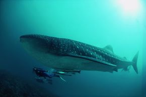 Divers swimming beside a whale shark (Rhincodon typus) at the Ningaloo Reef, Western Australia.