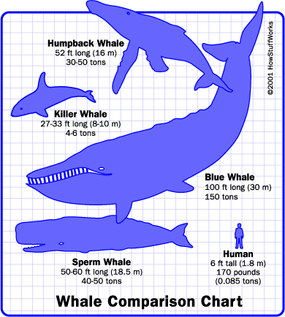 Whales vary considerably in size, but most all species dwarf a human being.