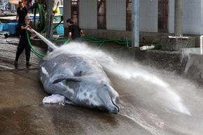 A Baird's beaked whale is prepared for processing at Wado Port in Minamiboso, Chiba, Japan in 2009.