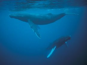 Humpback whales are large and graceful.