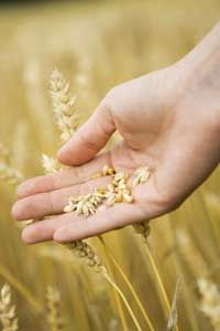 When wheat flowers fertilize, they produce grains, the edible portion of the plant. Here, we see the grains surrounded by bits of chaff in a person's palm.